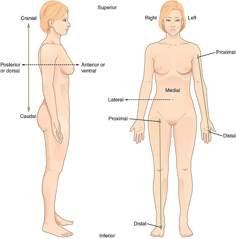From Wikiwand The Anatomical Position With Terms Of Relative