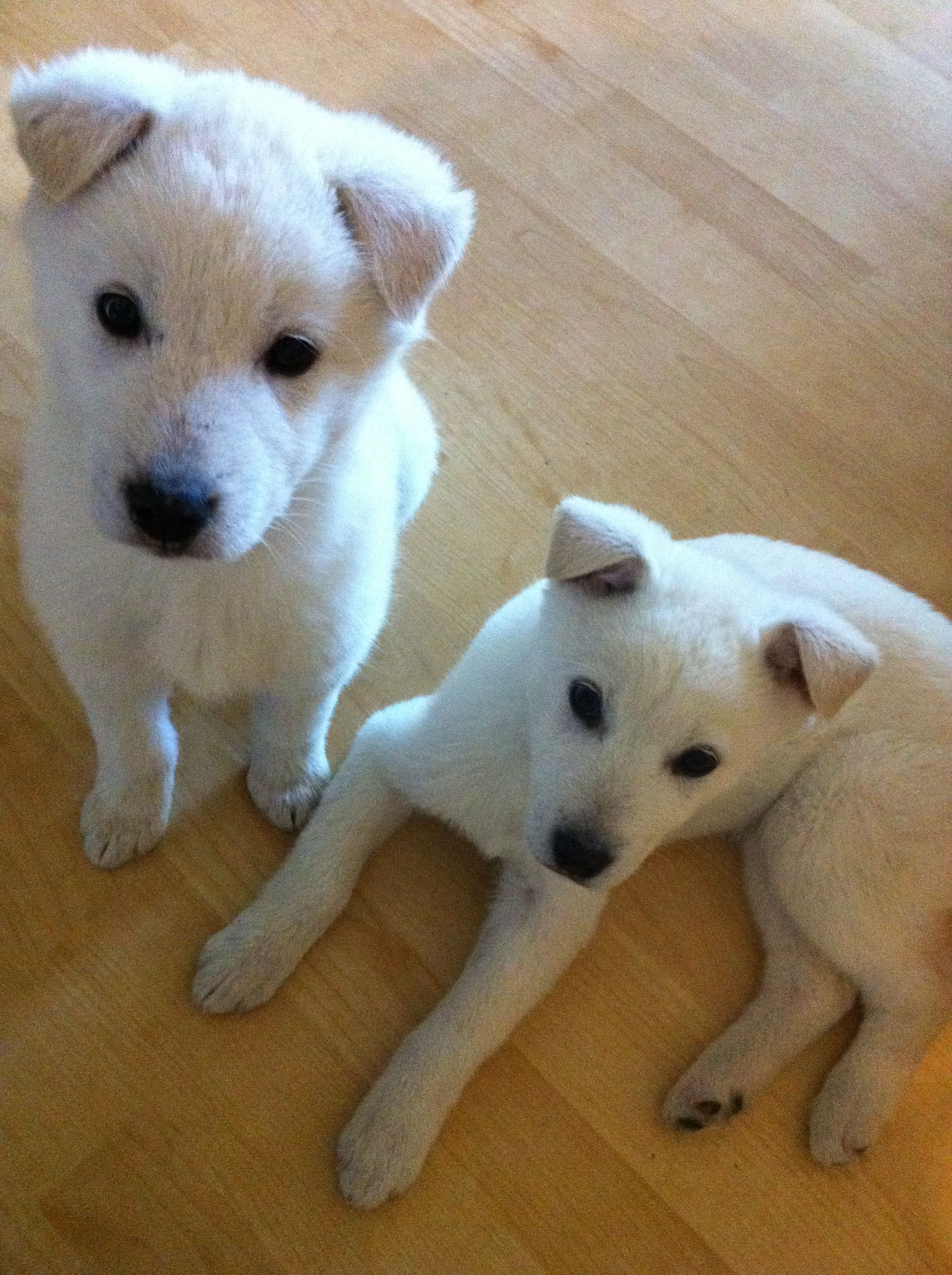 Korean Jindo Dog, Hangul Hanja, Chindo, Jindo, Jindo Gae, Jindogae