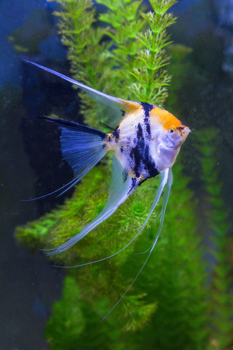 Koi Veil Angelfish Photography By Darrell Gulin With Images
