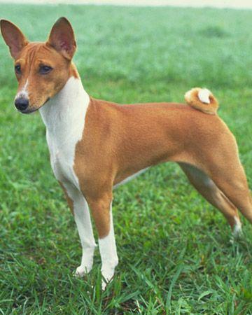 Basenji Dog Breed Dog Breeds Basenji Dogs Hound Dog Breeds