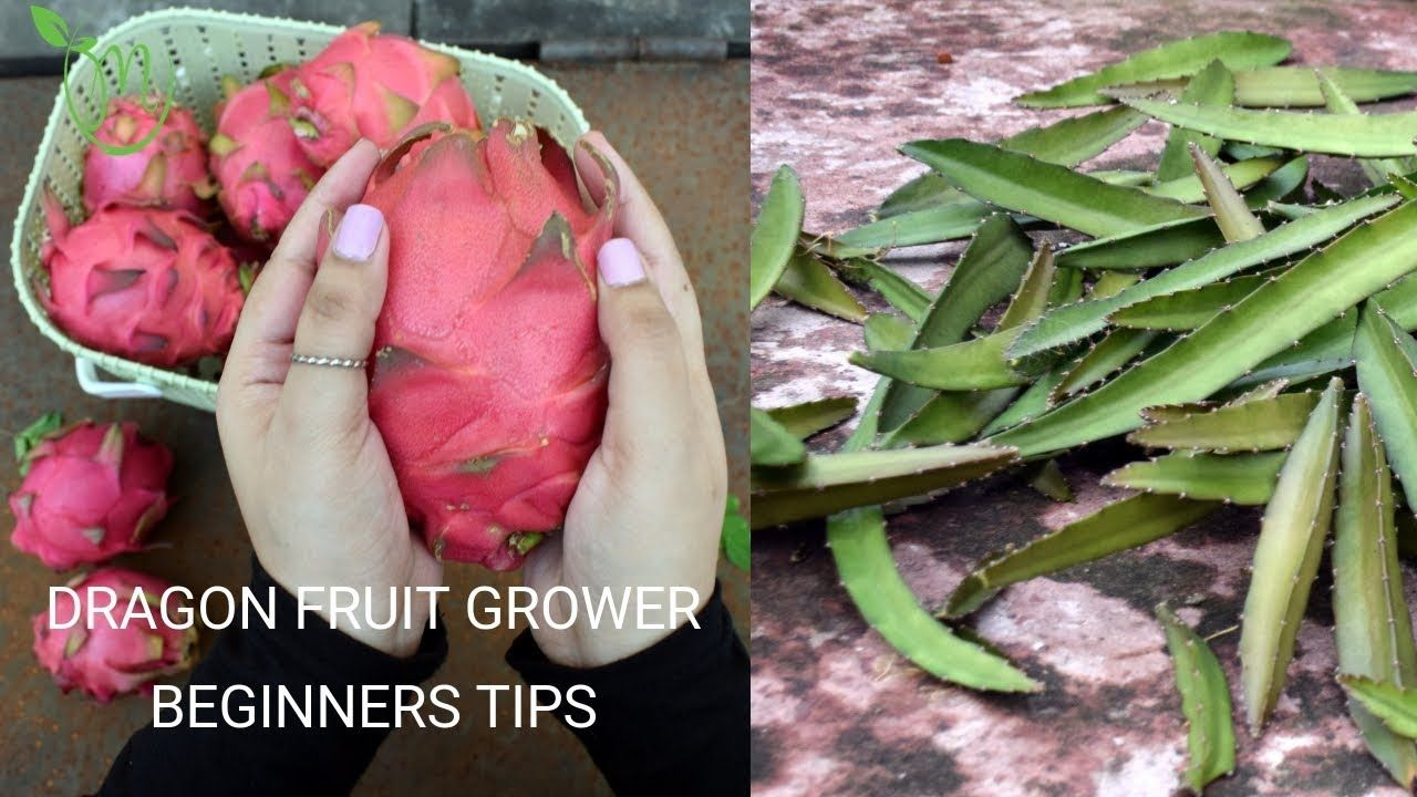 how to cut dragon fruit plant