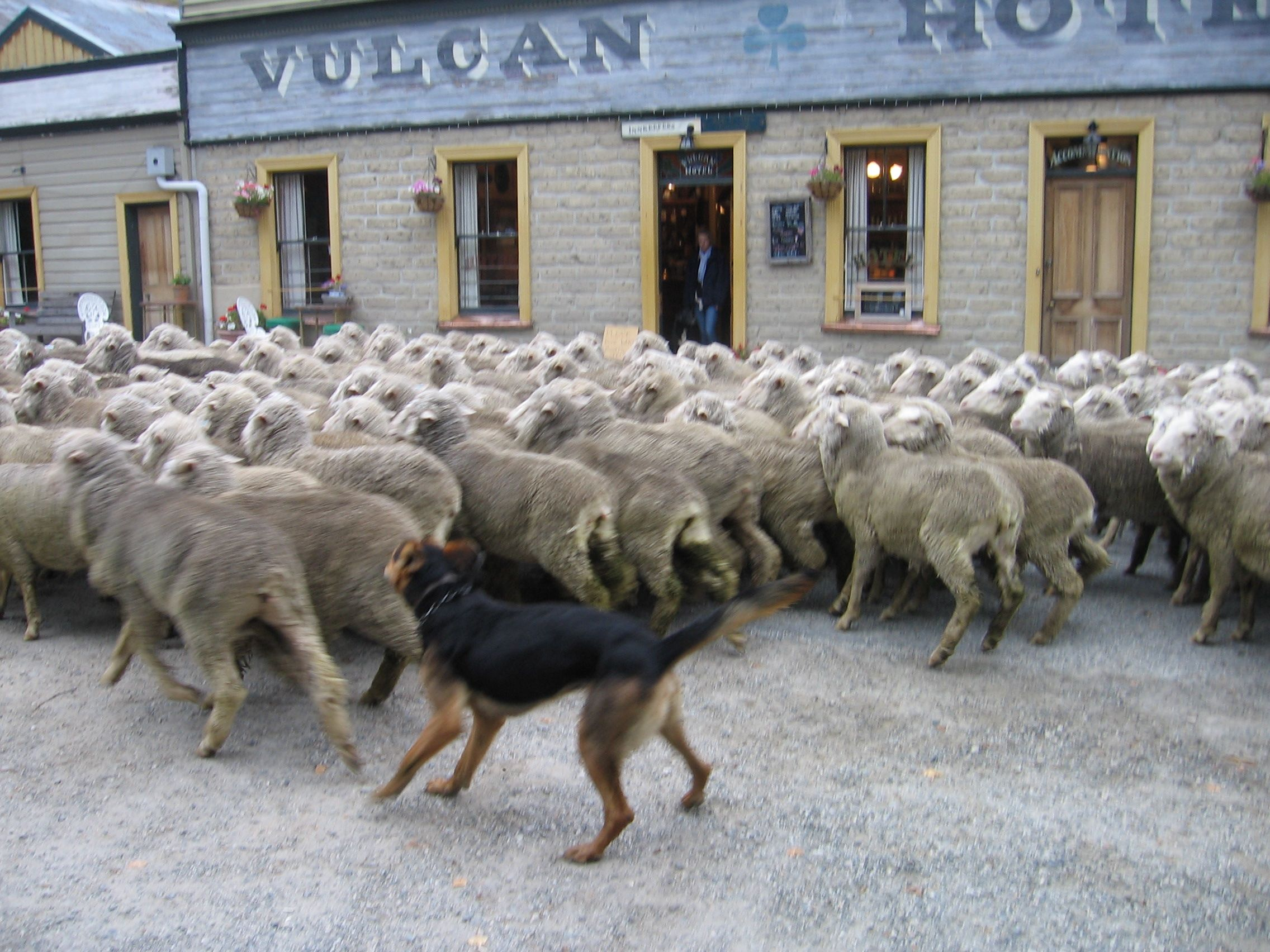 Huntaway Working Dogs Dogs Of The World Sheepdog