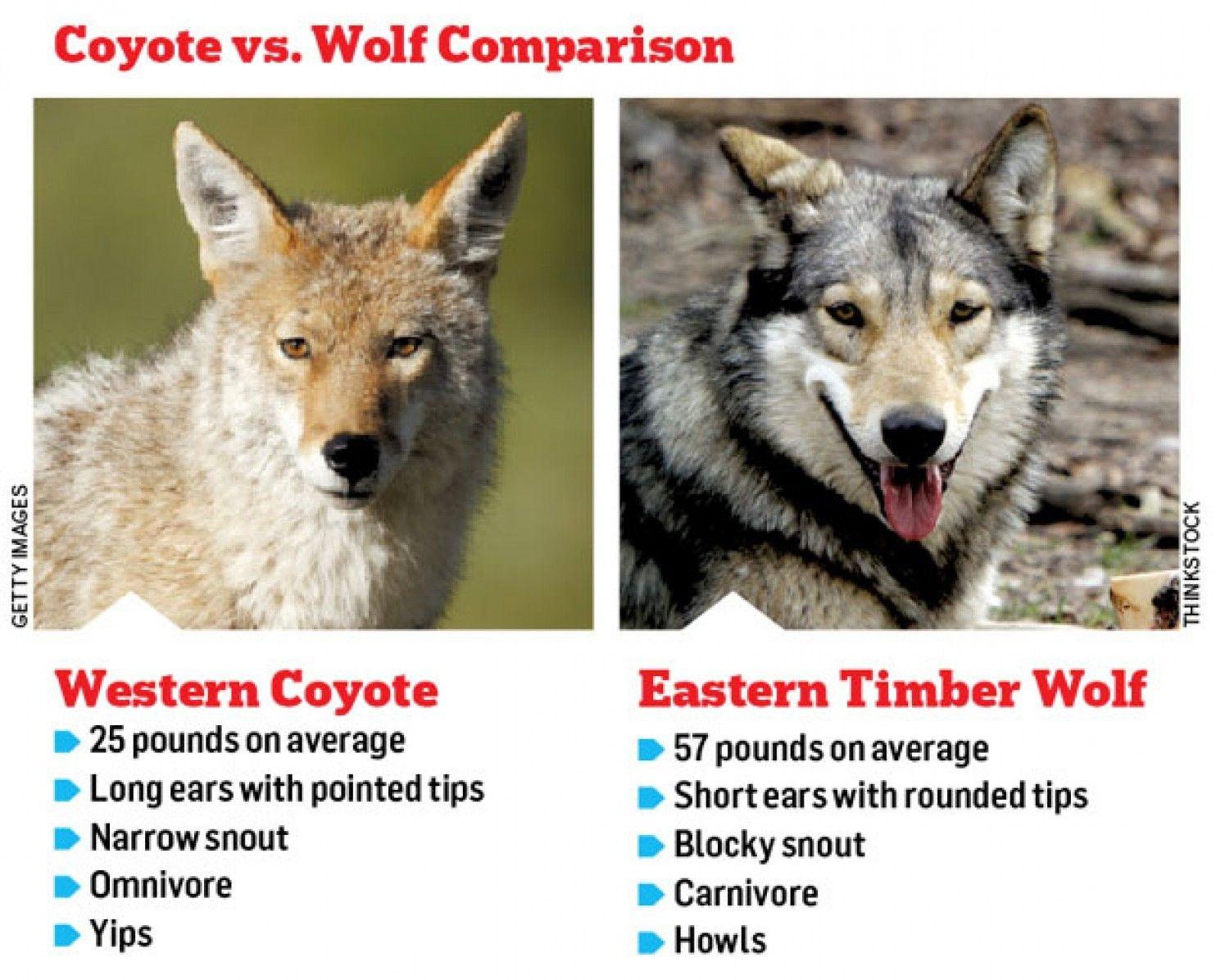 imrs.php (1484×1196) | Animal Walk | Pinterest | Wolf ...