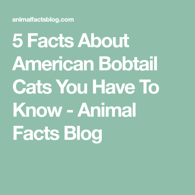 5 Facts About American Bobtail Cats You Have To Know ...