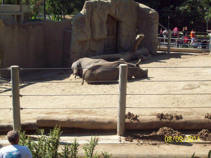 Best Rhino Relaxing In The San Diego Zoo San Diego Zoo San 400 x 300