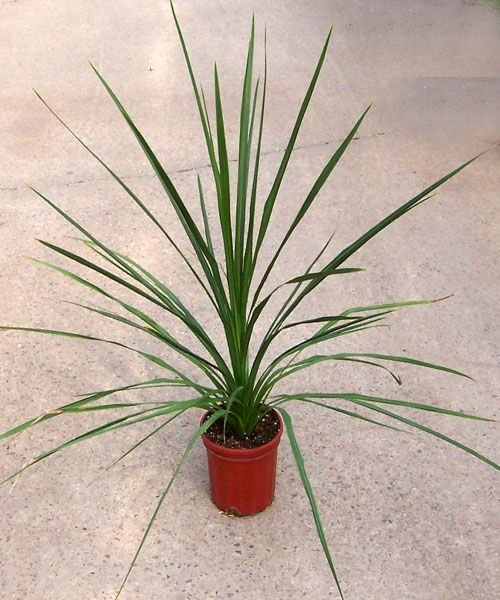 Dracaena Spike Gives Fantastic Thriller Height Interest To Your Designs Be Sure Look For A Little Larger Plant With More Leaves Add Immediate Drama