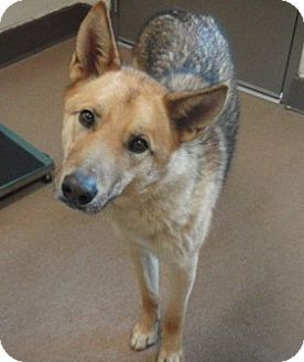 Wolf A German Shepherd Dog In Ca Needs A Home Now See Him On