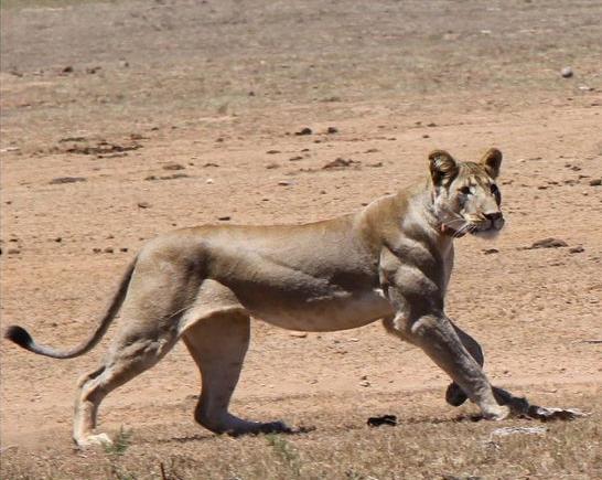 muscular lion - Google Search | Anima