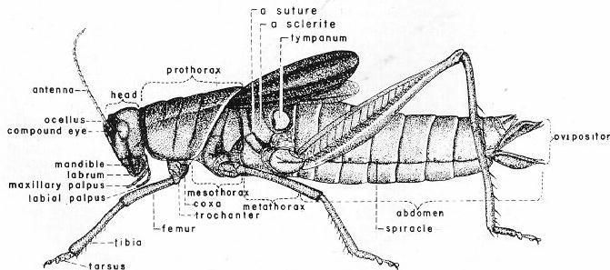 Grasshopper Carapace Diagram - All Kind Of Wiring Diagrams •