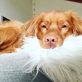 The One Canadian Dog Breed Everyone Needs To Know About Immediately Canadian Dogs Dog Breeds Dogs