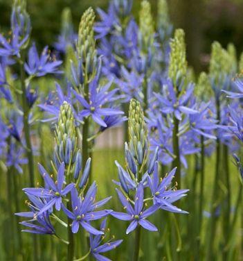 Camassia Leichtlinii Blue Danube Flower Farm Flowers Blue Flowers