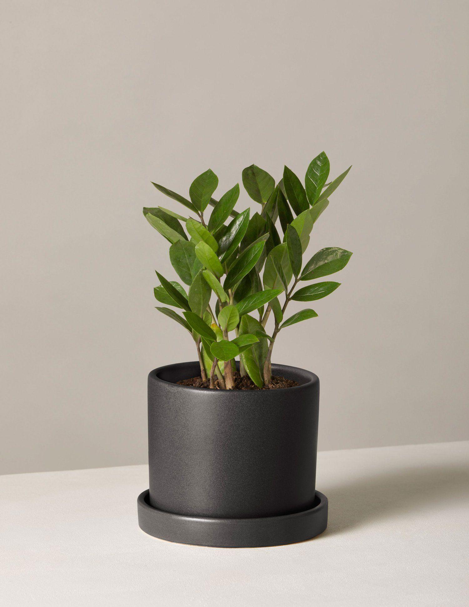 Zz Plant Small Potted Plants Zz Plant Low Light Plants