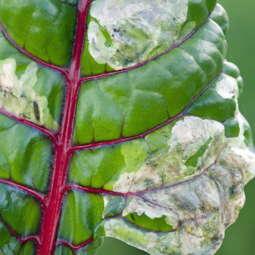 Minierfliegen Erkennen Und Bekampfen Pflanzen Mangold Pflanzen Pflanzenschutz