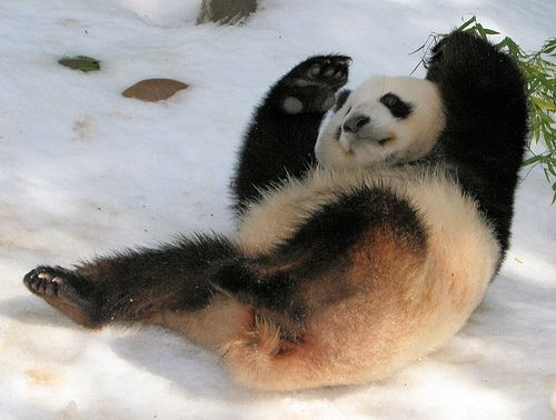 panda fall down and