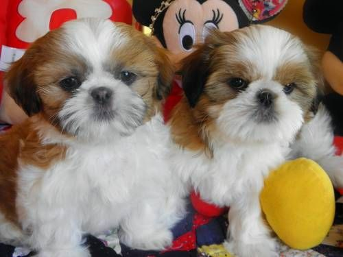Very cute and playful AKC shih-tzu puppies 9 weeks old