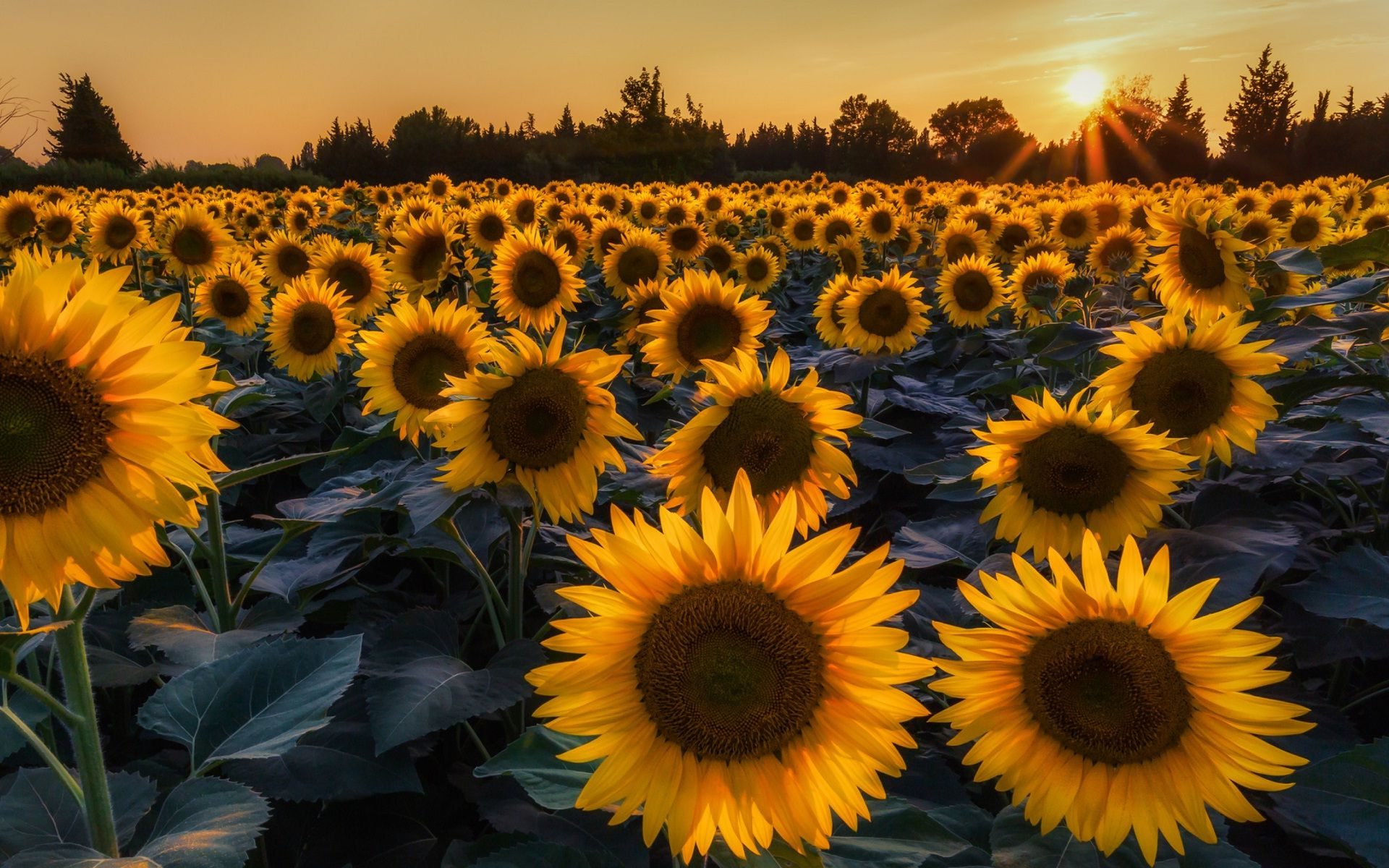 summer sunflowers wallpaper 1920×1200 images of sunflowers