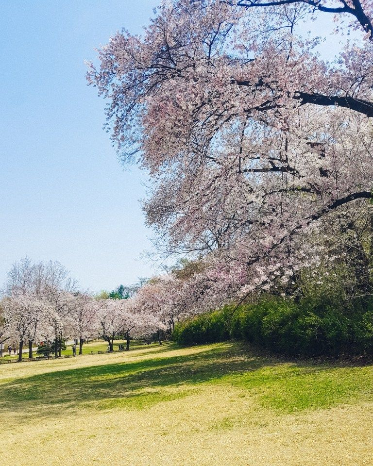 Best Places To See Cherry Blossoms In Korea A Finn On The Loose Places To See Cherry Blossom Nami Island