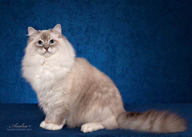 Riterag Ragdolls The Champion Of All Ragdoll Cats Ragdoll Cat Cats Kitten