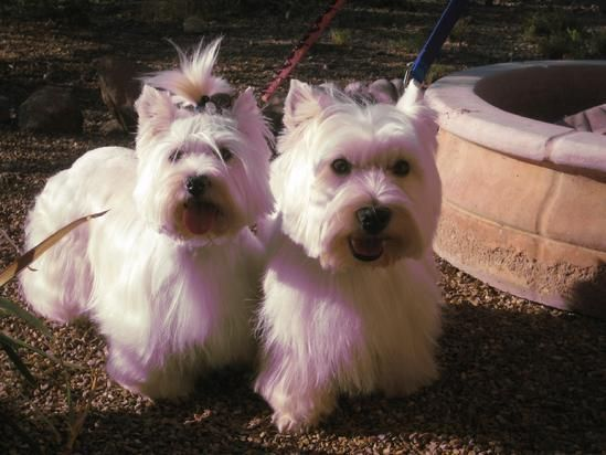 Westies In Europe Cammies Pups Proud And Happy Customers West Highland Terrier Puppy Westies Puppies