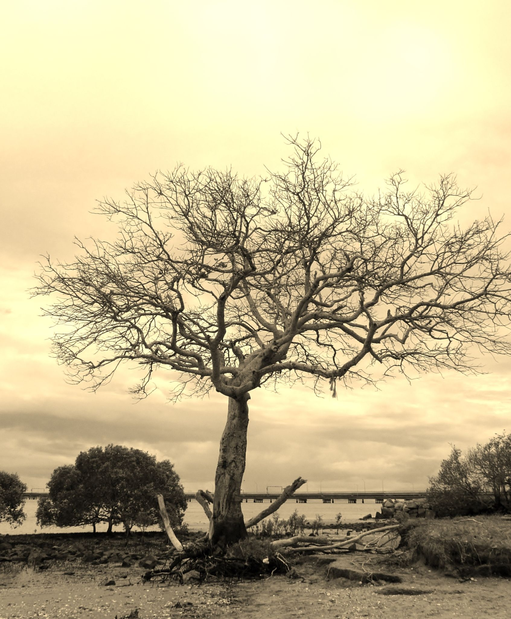 Sepia Tree Sadly This Tree Was Brought Down By Bad Weather Some Months Ago Nature Tree Tree Landscape