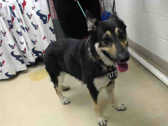 01 11 17 Houston Super Urgent This Dog Id A475470 I Am A Female Black And Brown German Shepherd Dog My Age Is Dogs Animals German Shepherd Adoption