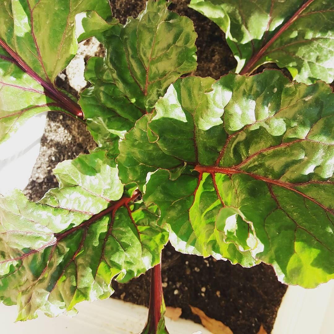 نباتاتي وشتلاتي On Instagram أوراق الشمندر شنو الافكاركم ممكن تفيدوني Plant Leaves Plants Instagram Posts