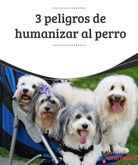3 peligros de humanizar al perro Problemas de comportamiento y diversos inconvenientes de salud son los principales peligros que conlleva humanizar al perro. #perro #humanizar #salud #inconvenientes