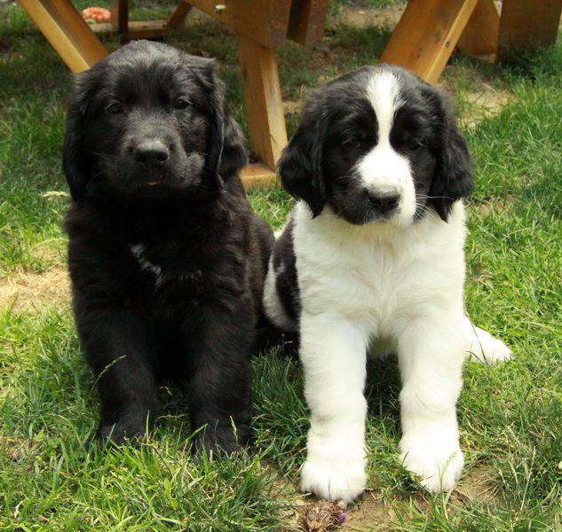Newfoundland X Golden Retriever Puppies Golden Puppy Golden