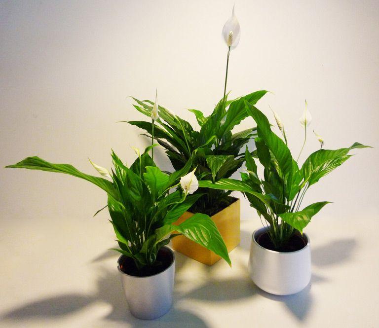 Plantas de interior rebolledo floristas interior for Mejores plantas para interior