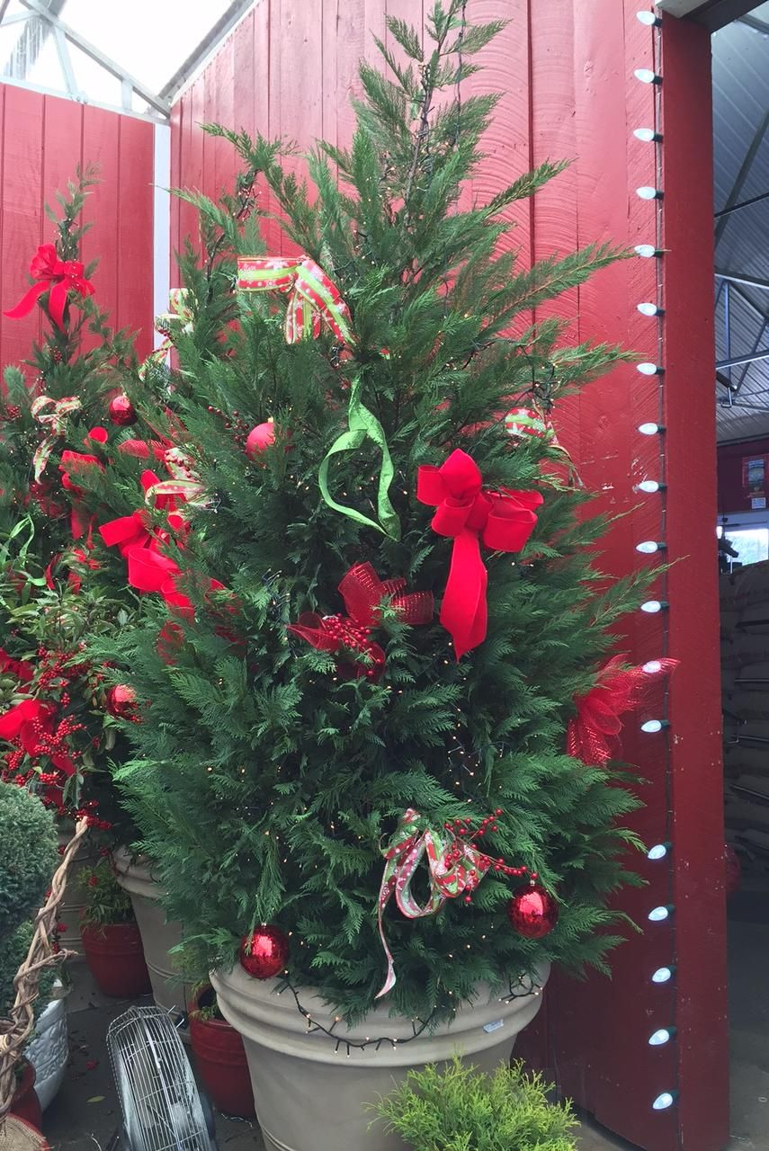 Image result for decorations leyland cypress christmas