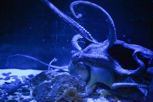 Ursula octopus