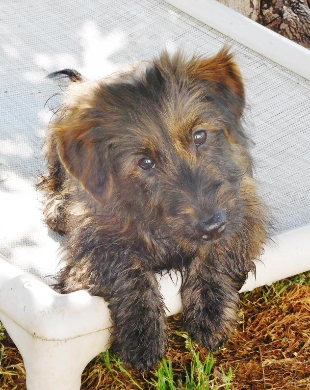 Adopt Pluto V on Dachshund mix, Puppy adoption