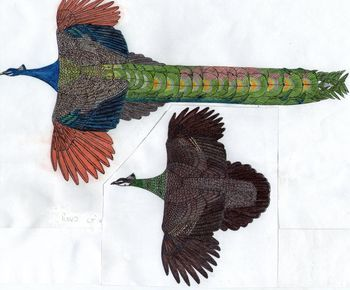 18+ Peacock anatomy info
