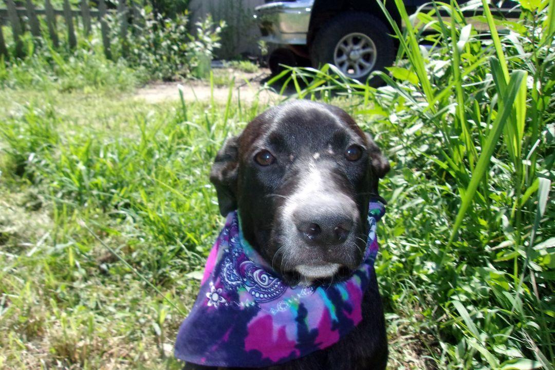 Adopt monie on labrador retriever mix labrador