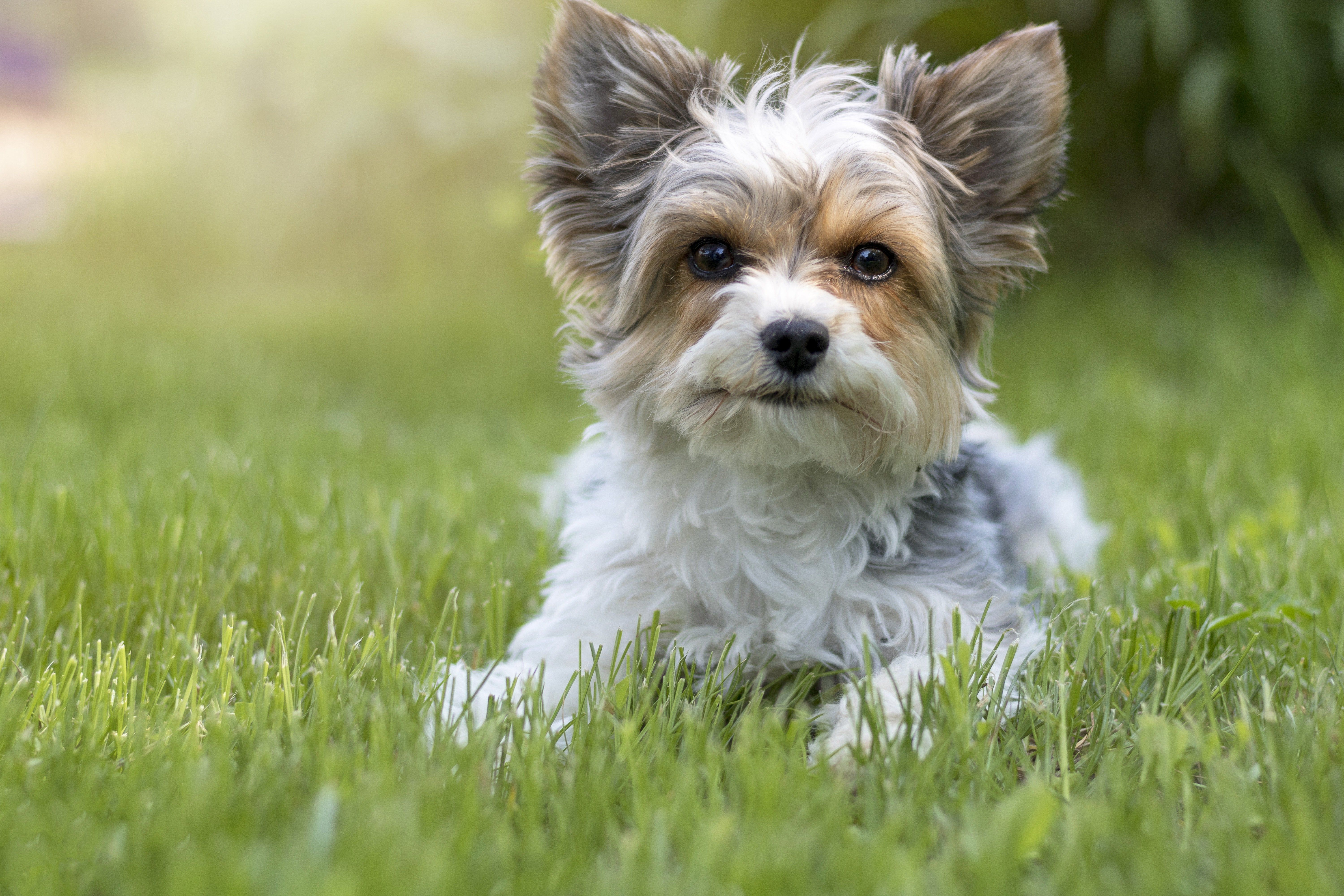 Biewer Terrier Dog Breed Pictures Characteristics Facts