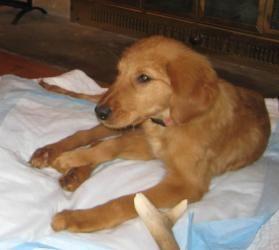 Adopt Chloe On Adoption Dogs Dogs Golden Retriever