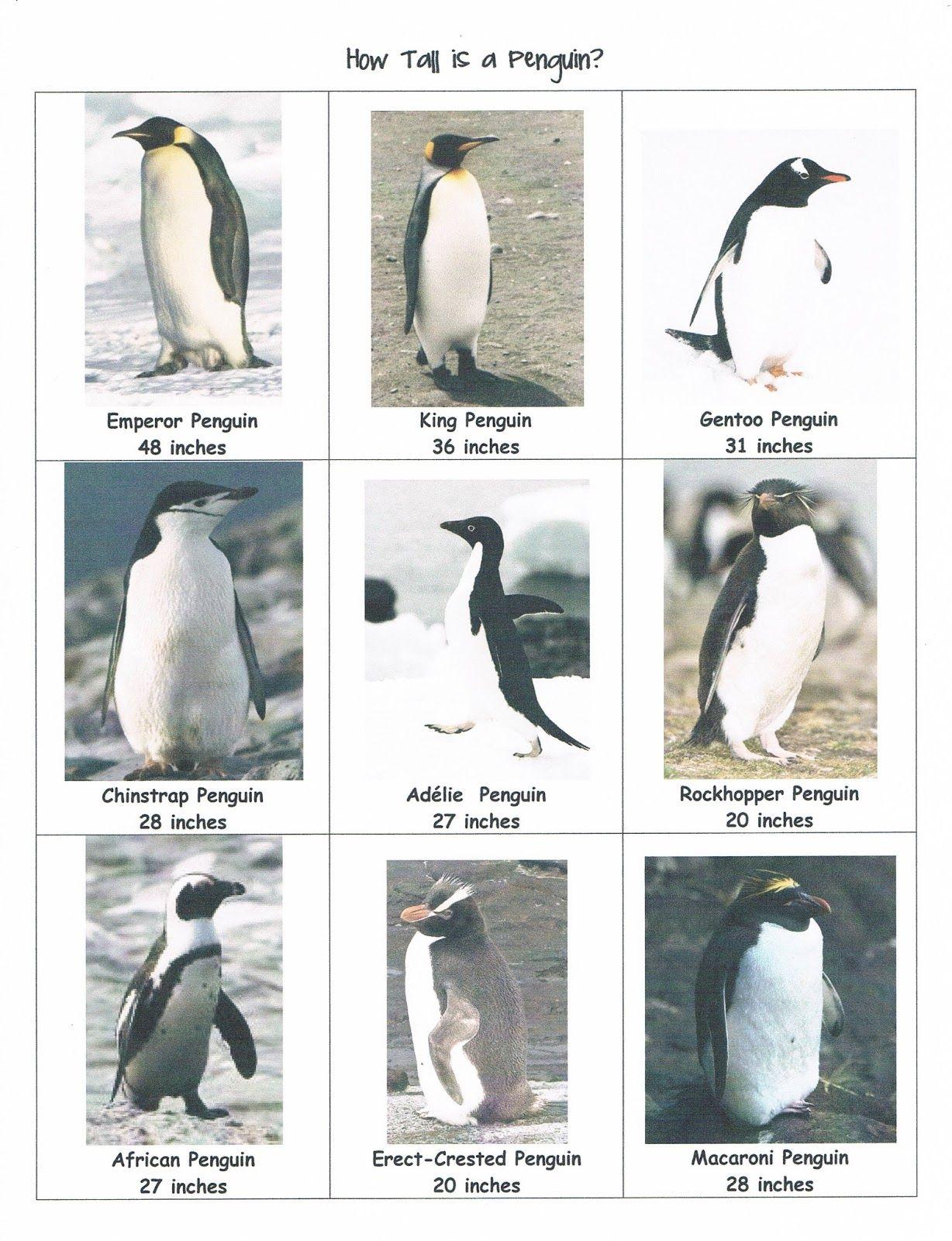 A Teacher Without A Class How Tall Is A Penguin