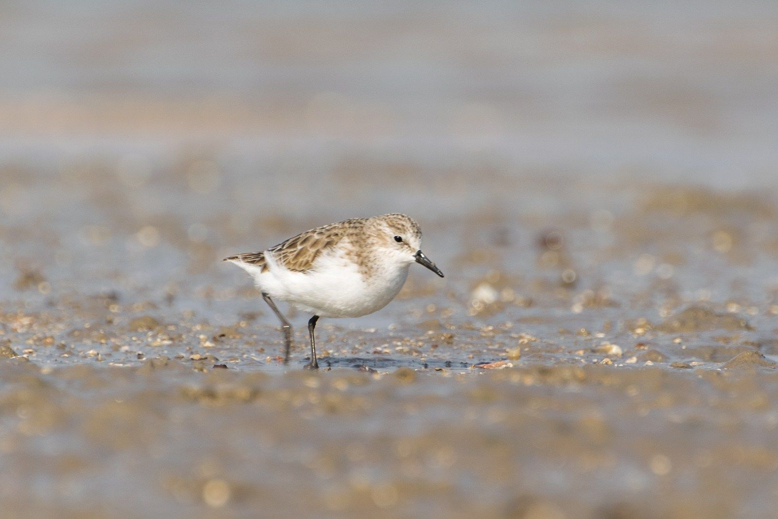 Little Stint (Calidris minuta in 2020 Wildlife