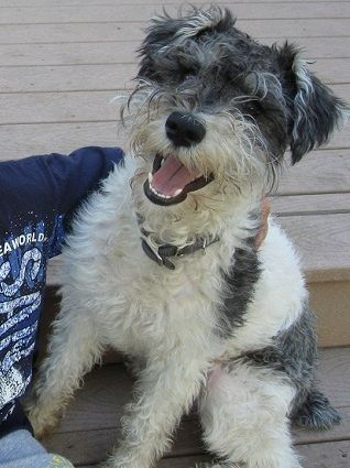 Schnoodle Full Grown Google Search Schnoodle Dog Life Dogs