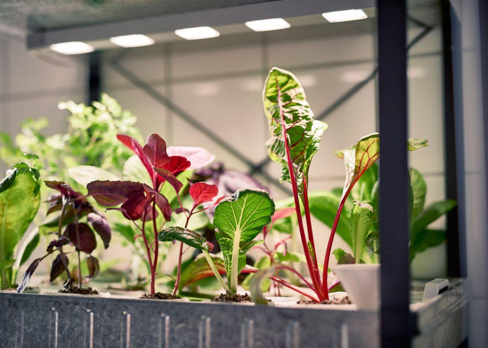 Ikea introduce a hydroponic indoor gardening kit Bahçecilik