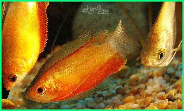 Jenis Ikan Hias Kecil Yang Suka Bergerombol Jpg 600x363 Www Wallpaper Redfish Yandell Bait