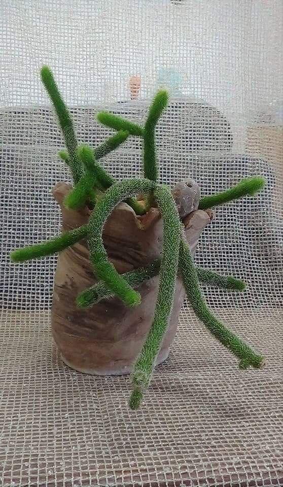 plante grasse synonyme