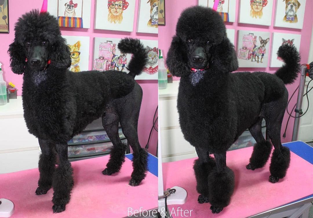 Moana Has A Bath Moana Niles And Hope Poodle Standardpoodle