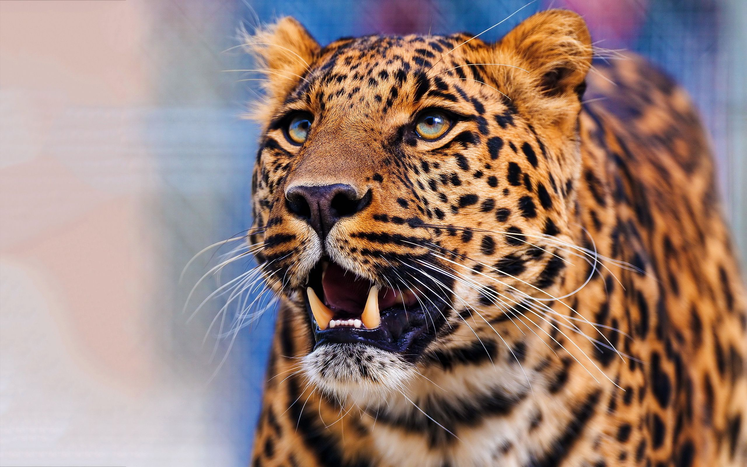 Leopard Face Hd Jpg 2560 1600 Leopard Face Cheetah Face Leopard Wallpaper