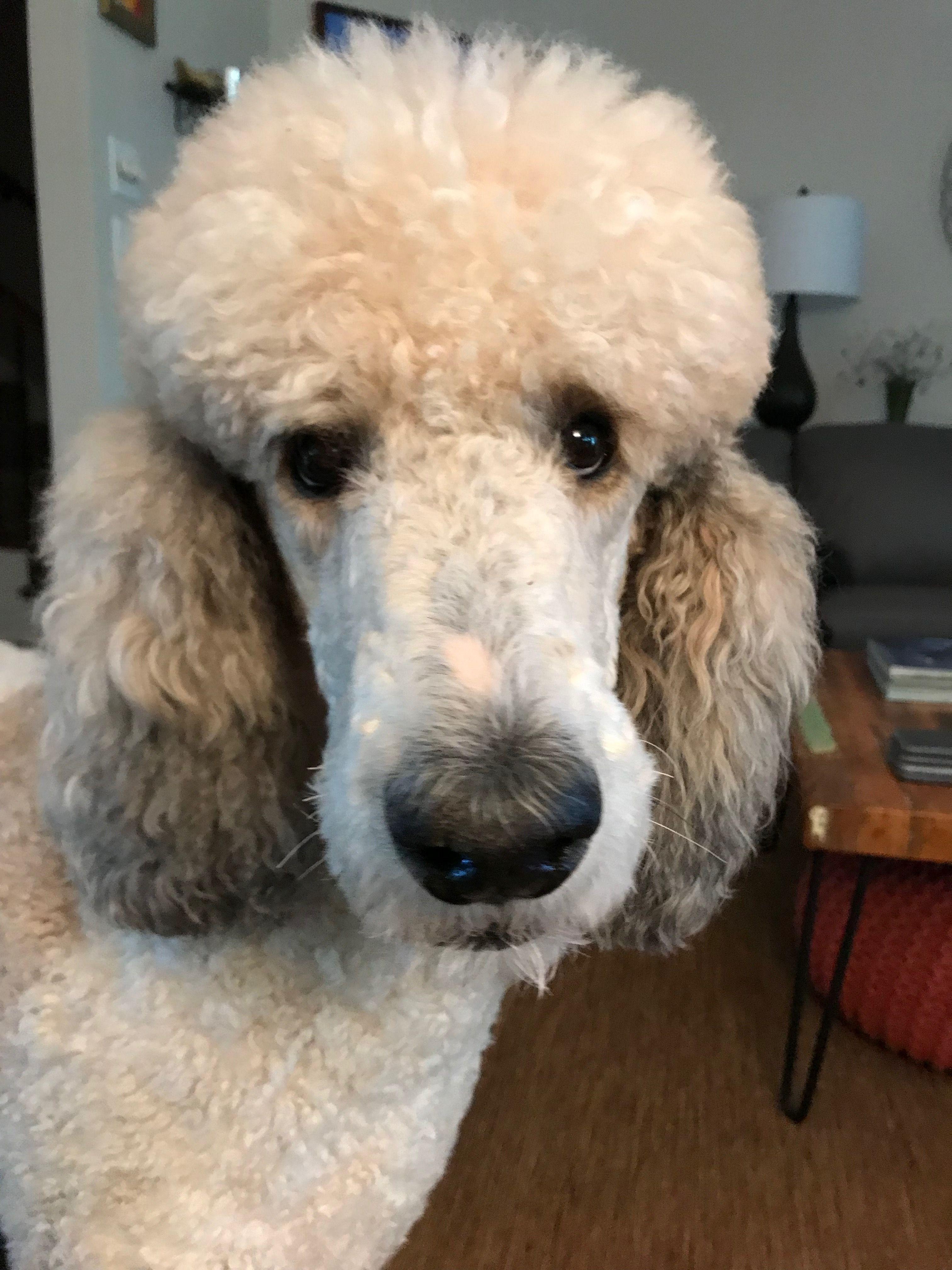 Pecos My Sweet Boy Poodle Dog Pretty Poodles Dog Dye