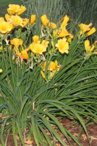 What To Do With Daylilies After They Bloom - Dayli