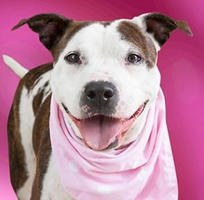 Adopt Abigail On Pitbull Terrier Terrier Mix Dogs Bull Terrier Mix