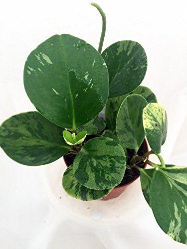Green Marble Baby Rubber Tree Peperomia Obtusifolia 4