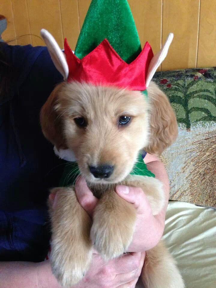 Cute Little Elf Jasper Pup Golden Retriever