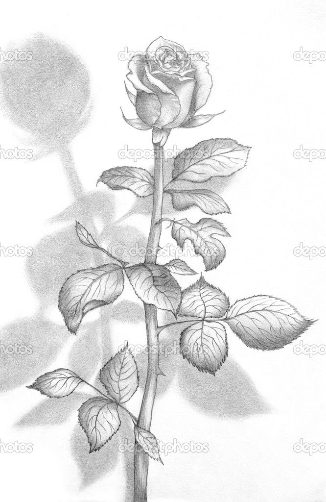 Rosen bleistiftzeichnung  draw beautiful roses | Pencil Drawing of a Beautiful Rose | Stock ...